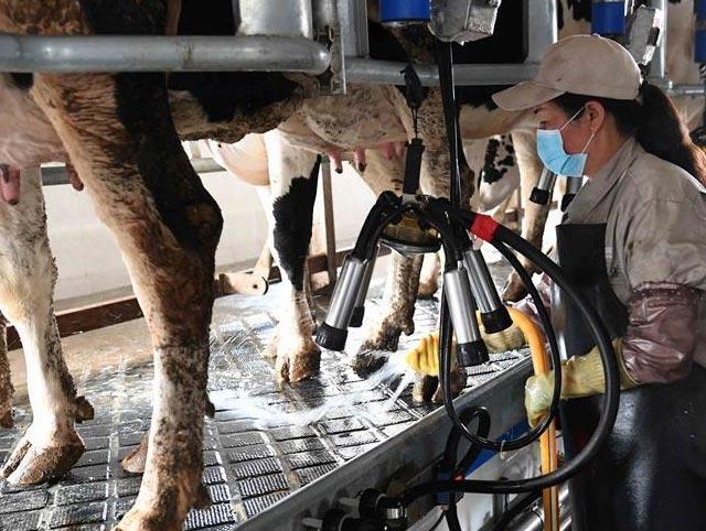 雲南尋甸:奶牛養殖企業帶動農民脫...